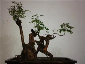 我的盆栽2公分厚的舍利薄桩黄荆