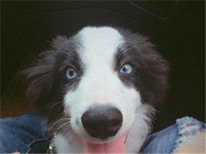 10个月大的边牧,蓝色眼睛,希望看到的联系,必有重谢!!
