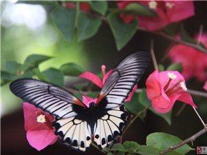 蝴蝶~蝴蝶~