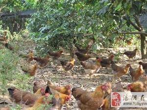 国庆假期带孩子到农场捡笨鸡蛋了
