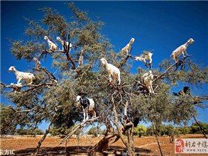 摩洛哥�嘴山羊爬�湟�食:�M��煅蛐闫胶饽芰�