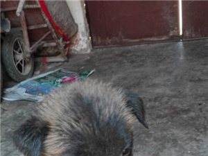 营海自家养马犬一窝出售