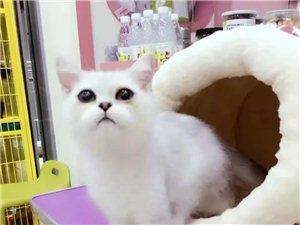 大脸猫英国短毛猫,银渐层弟弟,4月龄,甜美系。