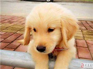 寻狗启事:寻乌南门口走丢三个月大的小金毛,毛色偏白,看到请联系有酬谢!【已找到,谢谢大家】