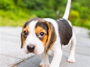 寻找狗狗比格犬