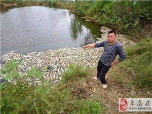 阜南一鱼塘疑遭投毒上万斤鱼暴毙 白花花地漂浮在水面上