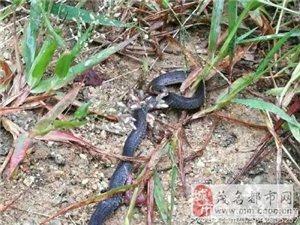 """罗信交界八排山发现""""钝尾两头蛇"""",属国家保护动物!"""