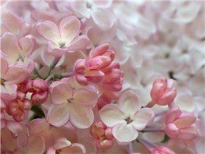 你说你最爱丁香花,因为你的名字就是它