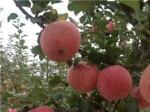 陕西洛川红富士苹果13227872572