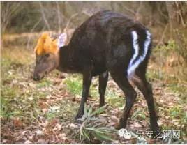 38台红外相机通过一年多,在我县首次发现国际濒危动物野生黑麂