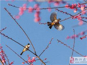 黔江:红梅花开正艳 生态美景如画