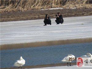 大凌河边拍天鹅人