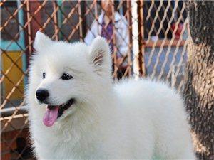 新生的萨摩耶幼犬断奶啦,在自己家里,憨厚可爱。