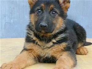 精品锤系德牧幼犬 疫苗驱虫已做完 签订购犬协议