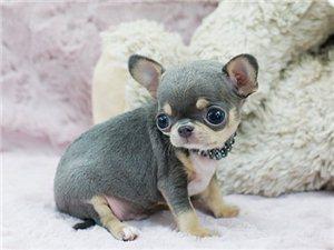 墨西哥纯种超小体吉娃娃幼犬出售 吉娃娃专业繁殖