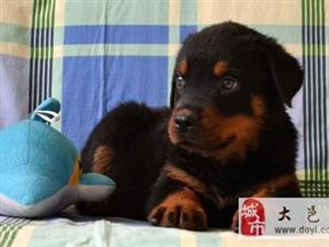 罗威那幼犬,凶猛威武,很漂亮哦