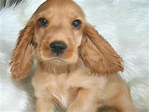 纯种可卡幼犬 活泼可爱