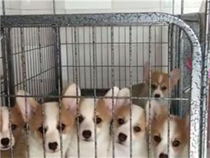 精品纯种柯基犬幼犬