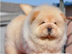 热销松狮幼犬,很憨厚,很可爱,肉嘴,毛茸茸