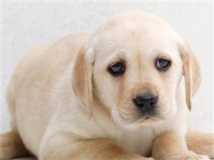 拉布拉多幼犬忠诚护主单纯善良