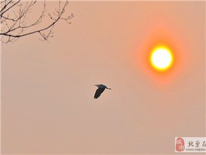 苍鹭已在我市境内筑巢――-有图为证
