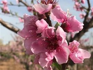 去年今日澳门威尼斯人网站中,人面桃花相映红。