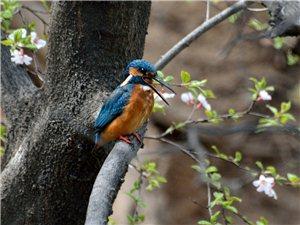 吐食丸的翠鸟