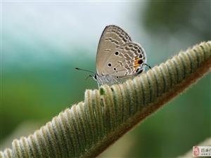 铁苏上的紫灰蝶