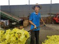 丰都老乡种植黄蜀葵,带动群众一起致富!