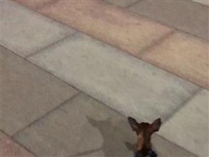 7月6日晚在富海花园德胜街丢失一只小鹿犬,如有捡到,必有重谢!