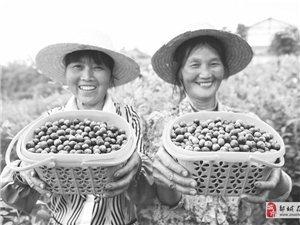 2019现代农业:蓝莓大丰收!!