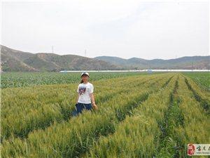 家里的小麦丰收了
