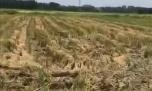 心寒!吴川樟铺农民辛苦耕种的稻谷一夜被盗几十亩...