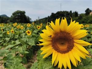 新县黄土岭村的向日葵