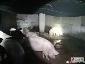 桐城多部门对全市生猪屠宰市场开展联合执法检查