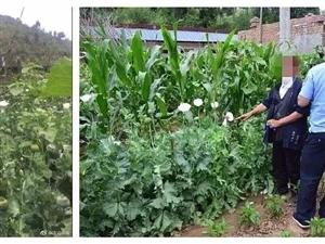 惊呆!榆林79岁老汉在自家院内种植392株罂粟被拘留!
