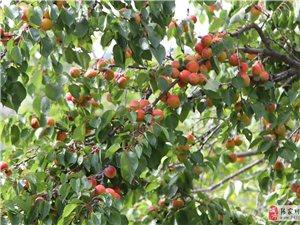 张家川小伙伴们,龙山镇西梁子山上的杏子黄了。。
