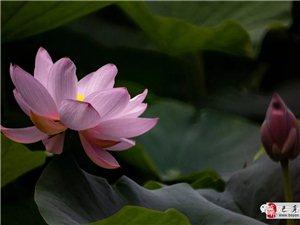 苏城巴彦摄影之西郊羞荷-吴欣新