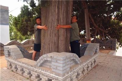 """长葛一村:""""镇村之宝""""是4棵树!村支书:""""卖了就是历史罪人!"""""""