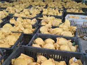 """十五万亩绿色无公害的砀山早熟梨,成为市场""""抢手货""""!"""