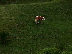 """【白石咀牧场摄影专题】白石咀之""""牛"""""""