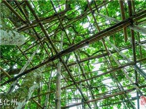化州有棵300多年摇钱树,果实承包转手可赚20多倍!