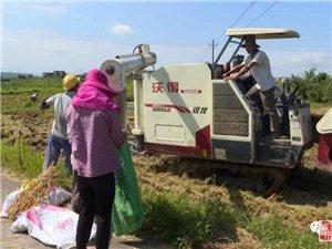 南城县早稻收割进入高峰期收割机唱主角