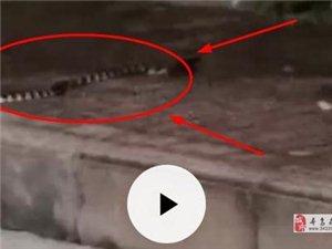 黄岗山散步的朋友要小心蛇,大家相互转告,提醒!