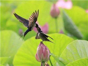 苏城巴彦摄影之燕子戏荷花-罗永春
