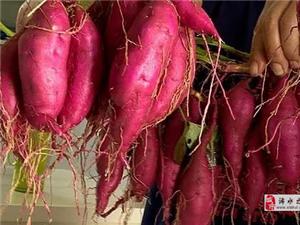 【经验交流】浠水关口镇:210亩小香薯引进扶贫村助村民脱贫致富
