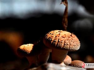 �x和碑村的香菇