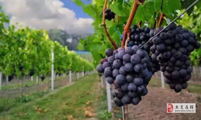 速速收藏!大足葡萄采摘攻略来袭,好吃好耍又便宜的葡萄,约起~