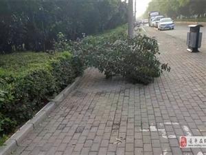 澳门金沙网址站奥林匹克广场南门西边一棵绿化树倒地上一个星期无人问津