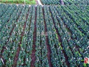 葡萄成熟季,采摘正���r